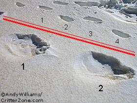Bigfoot, Sasquatch, Yeti, Tracks, Footprints, Trail, Trackway